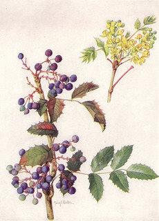 Oregon_Grape_(NGM_XXXI_p515).jpg